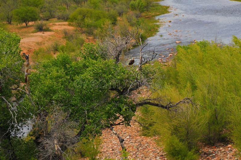 Download Bald Eagle Natural Habitat stock photo. Image of freedom - 10545924