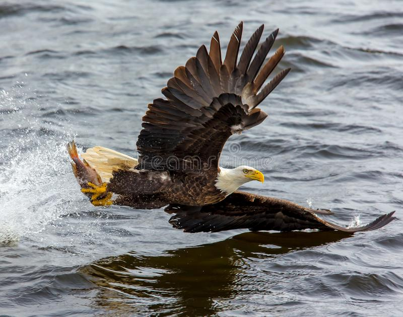 Bald Eagle over the Body of Water stock image