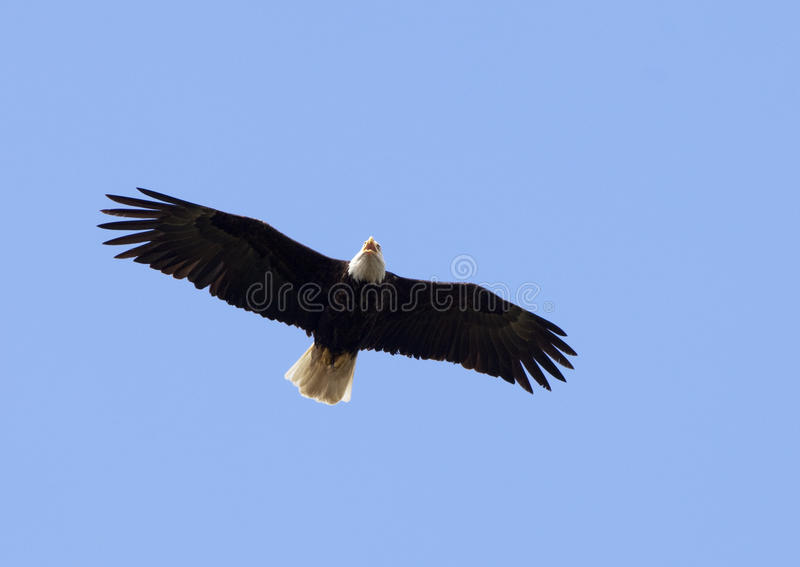 Bald Eagle Overhead stock image