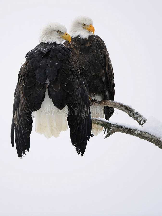 Bald Eagle pair royalty free stock photo