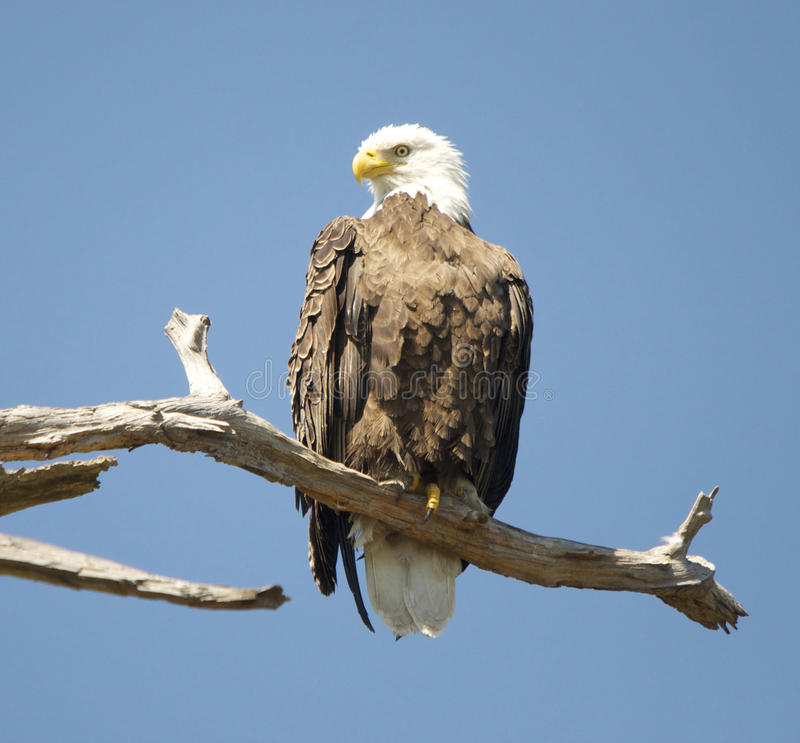 Download Bald Eagle Perched stock image. Image of wildlife, eagle - 29067039
