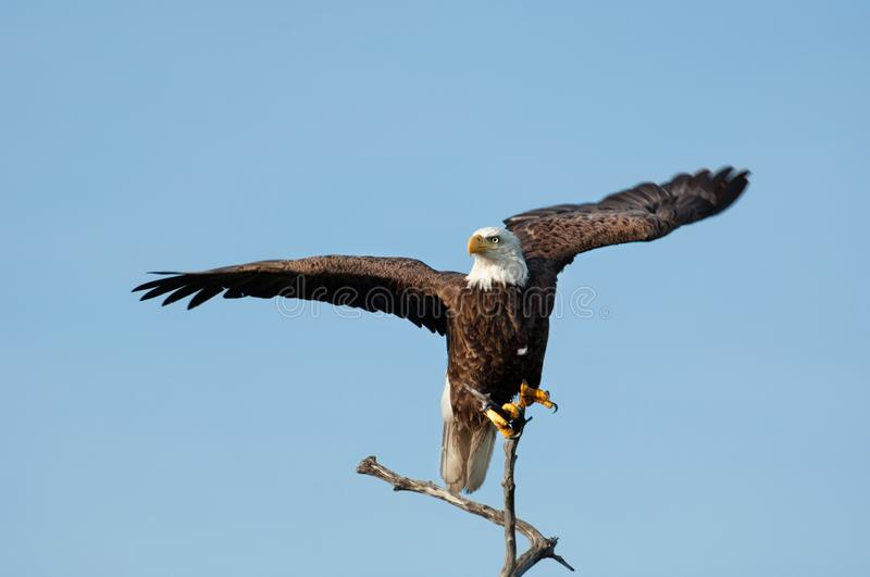 A bald eagle perched on a branch begins to take flight. A nearly adult bald eagle perched on a dead mangrove branch begins to take flight in Wiggins Pass stock photos