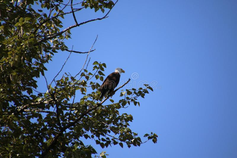 A bald eagle perched on a branch royalty free stock image