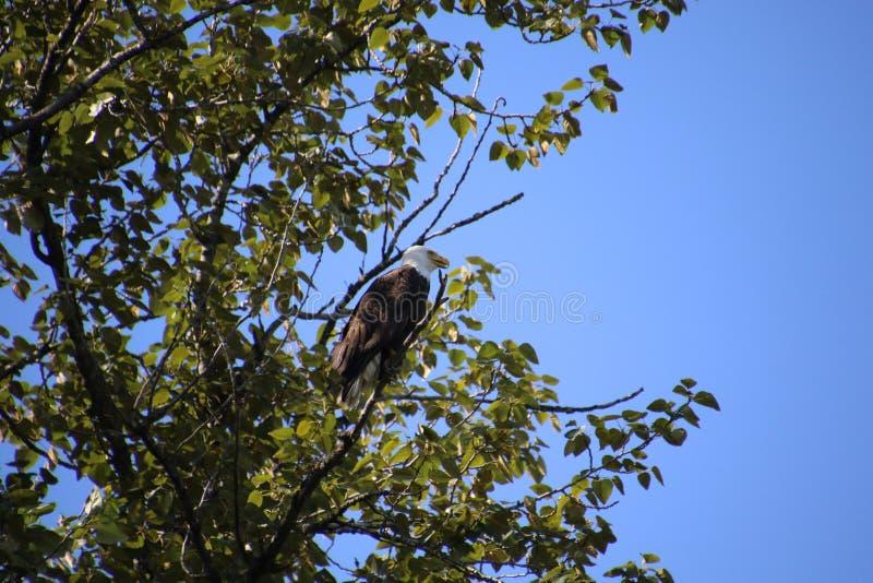 A bald eagle perched on a branch stock photos