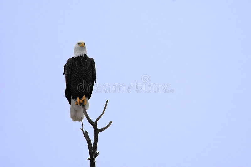 Bald Eagle perched high stock photos