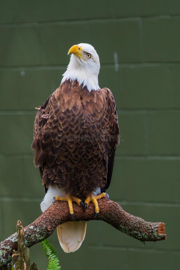 Bald Eagle Perched on a Log stock photos