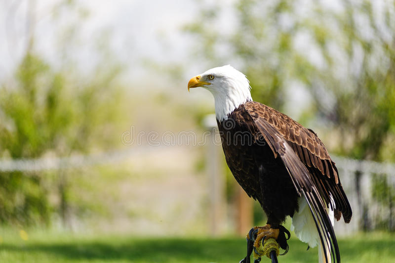 Bald Eagle perched royalty free stock photo