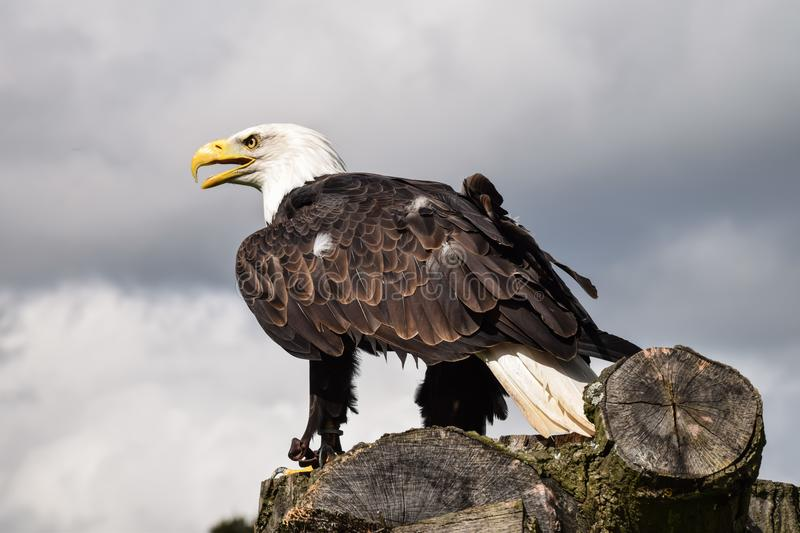 Bald Eagle Perched Resting. Bald eagle perched in the middle of a bird display stock photos