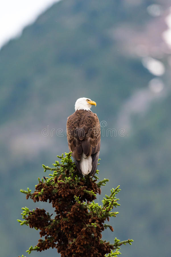 Bald Eagle. Perched on a tree top Jasper National Park Alberta Canada royalty free stock photos