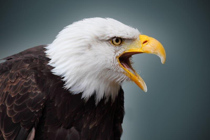 Bald eagle. Picture of a beautiful and wild bald eagle stock photo