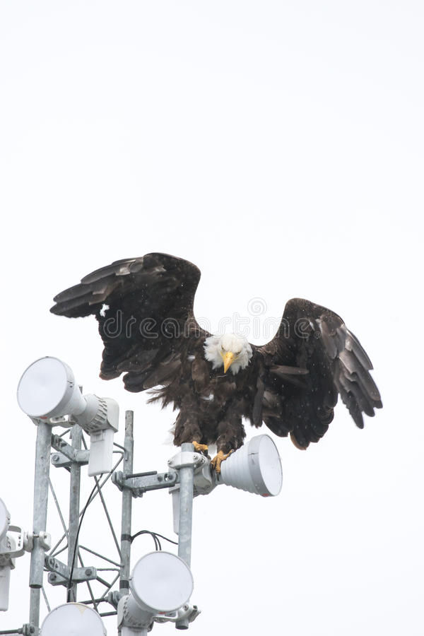Bald Eagle on Pole royalty free stock images
