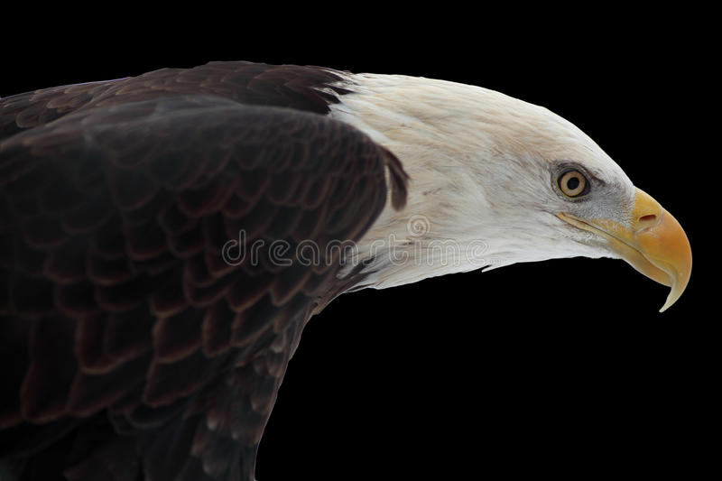 Bald Eagle Portrait. Detailed head of bald eagle in profile, on black background. National bird of the United States royalty free stock photo