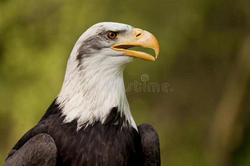 Download Bald Eagle Portrait stock image. Image of animal, head - 19391443