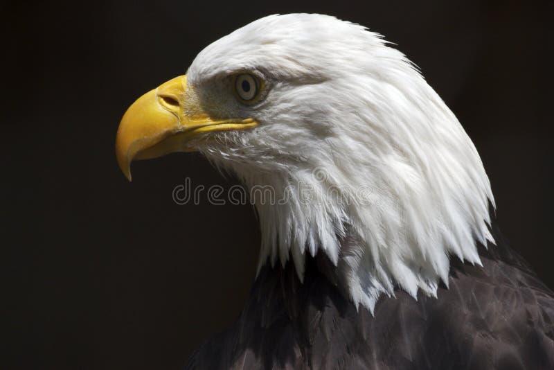 Bald Eagle Portrait. Headshot of a bald eagle royalty free stock image
