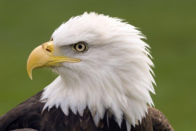 Bald eagle portrait. Profile of a bald eagle