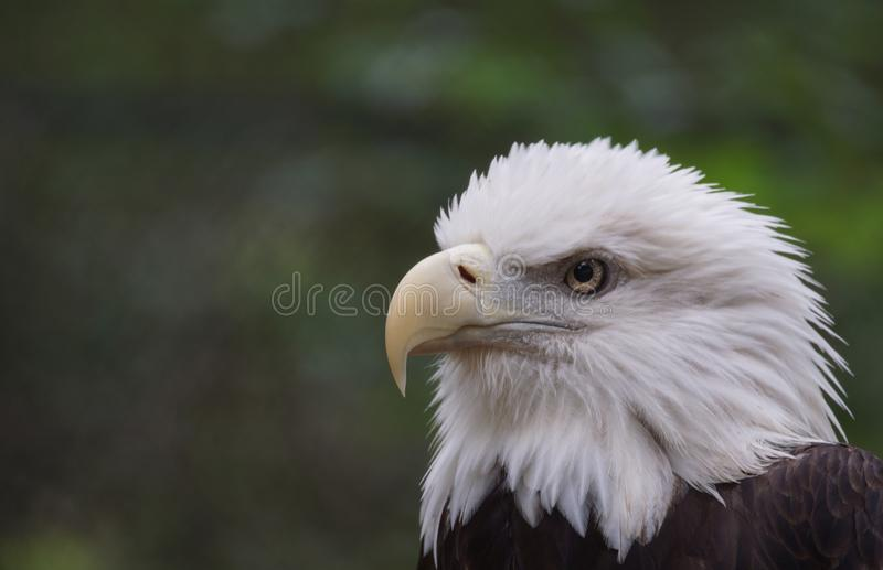 Bald eagle portrait. Close-up of a bald eagle in Brookgreen Gardens, South Carolina royalty free stock image