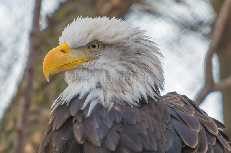 Bald eagle portrait taken at a zoo royalty free stock image