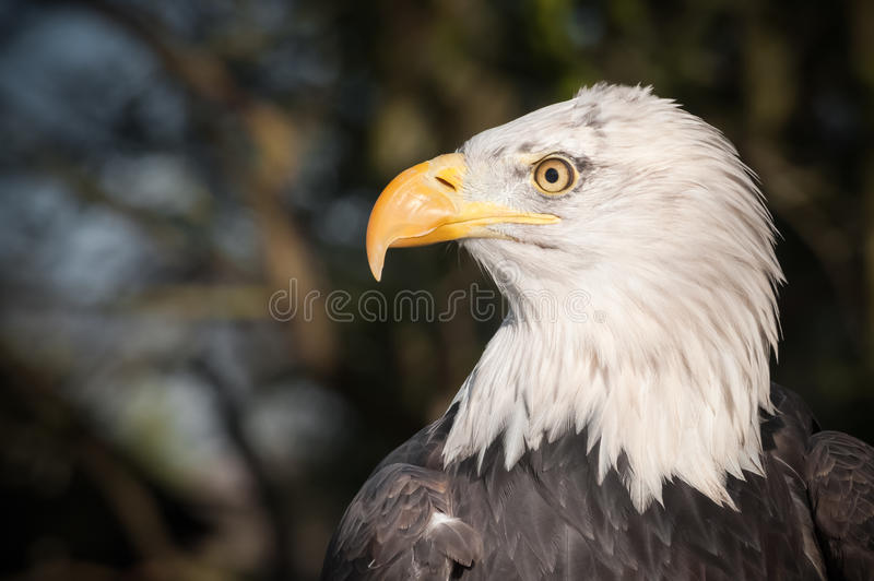 Download Bald Eagle Profile Royalty Free Stock Photography - Image: 28126627
