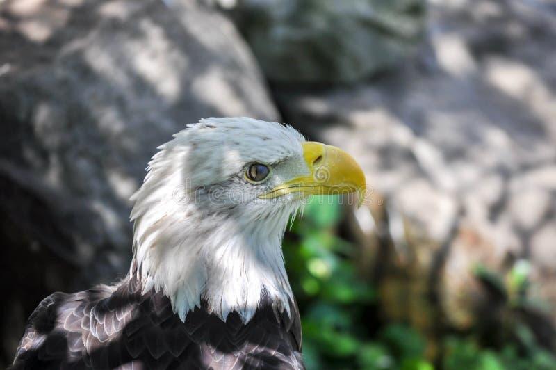 Bald Eagle Profile Closeup with Eye Half Closed stock photo