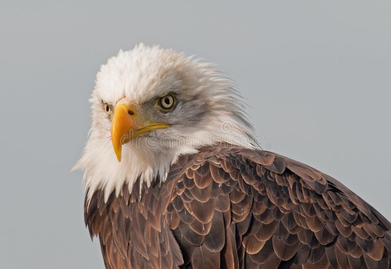 A bald eagle at rest royalty free stock photos