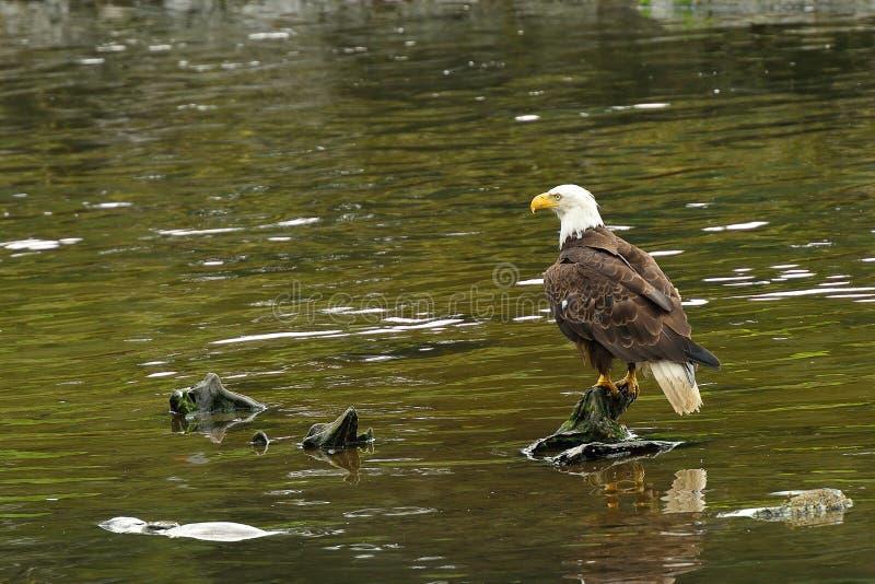 Bald Eagle In A River Royalty Free Stock Photos