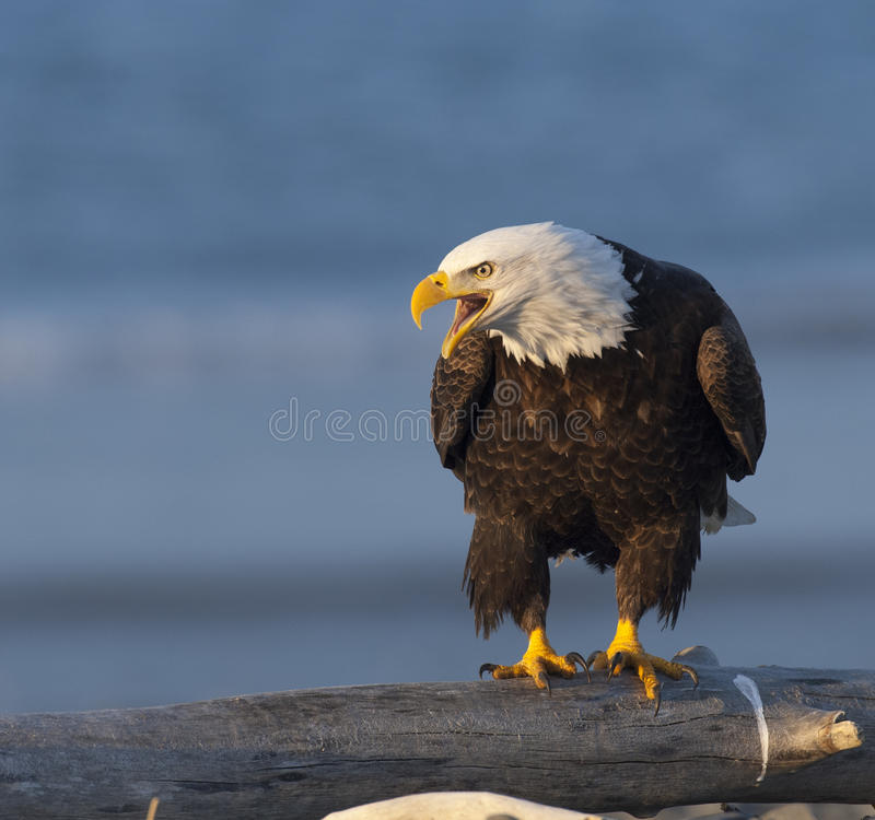 Bald eagle screaming on log waiting for food in Homer, Alaska stock photos