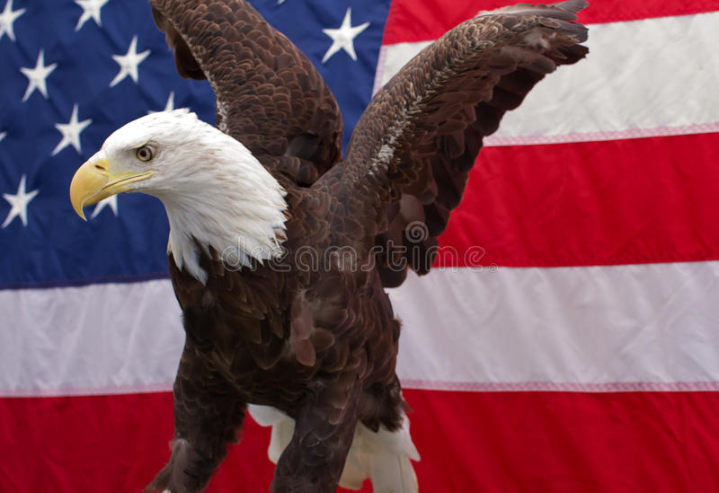 Bald Eagle sitting with the American Flag 6 stock images