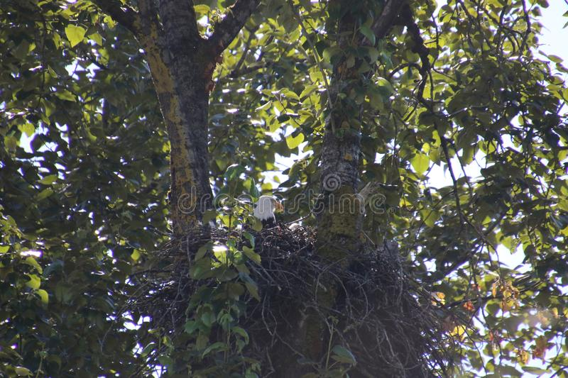 A bald eagle sitting in a nest royalty free stock image