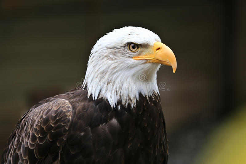 Bald Eagle. A bald eagle sitting perched looking forward royalty free stock photo