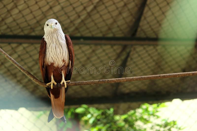 Bald Eagle at VOC park. Bald Eagle is sitting on the rope at VOC park in Coimbatore stock images