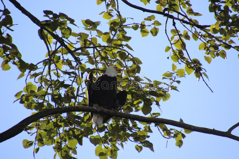 A bald eagle sitting on a tree branch with branches royalty free stock photography