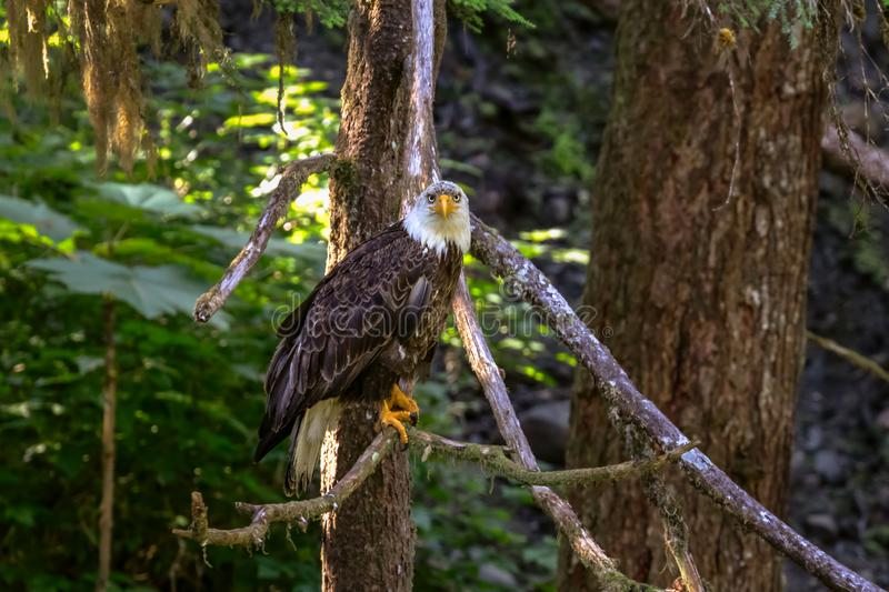 Bald Eagle sitting in a tree over a salmon stream stock photos