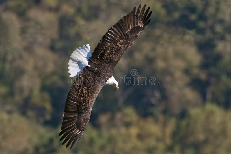 Download Bald Eagle Soaring stock photo. Image of majestic, adult - 27609836