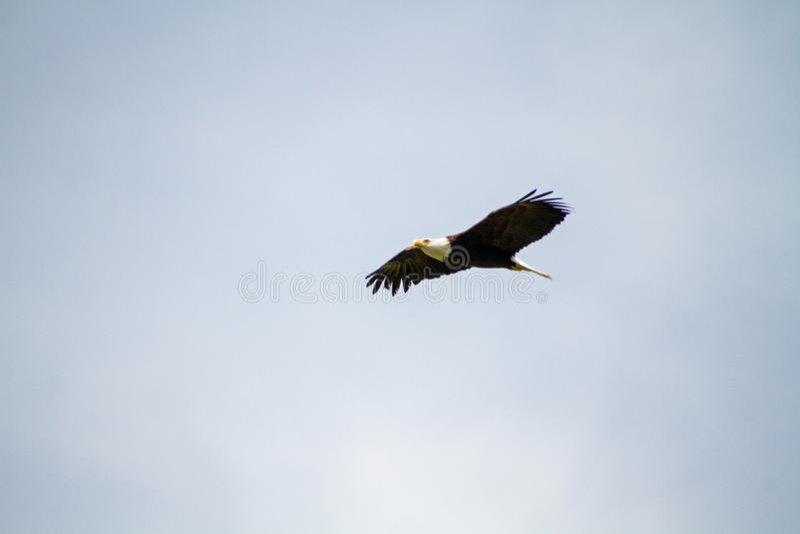 A bald eagle soaring stock photography