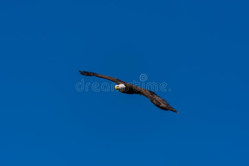 A bald eagle soaring royalty free stock photo