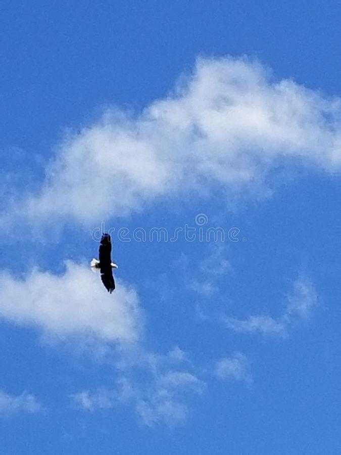 A bald eagle soaring high up in the sky stock photo