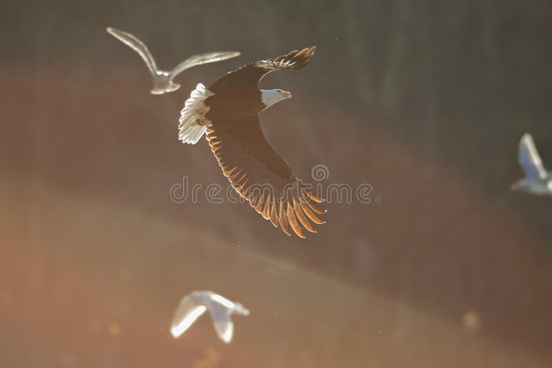 Bald Eagle in Soft light. A bald eagle flying between the mountain glow and the shadow of a mountain