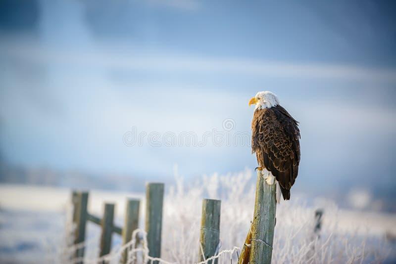 Bald Eagle standing on a fence, Grand Teton stock photo