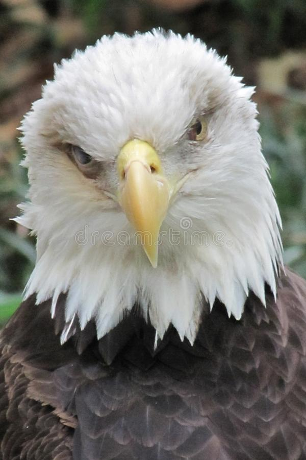 Bald Eagle Stare royalty free stock photography