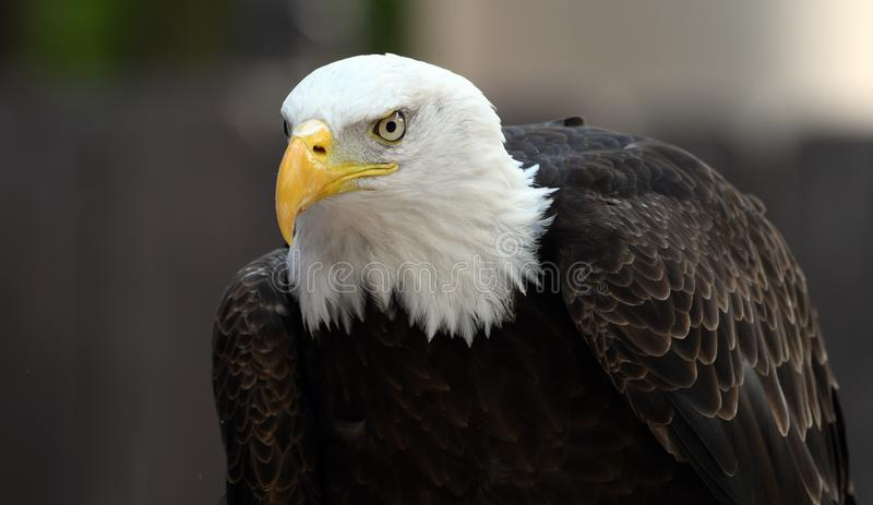 Bald Eagle staring profile stock photo