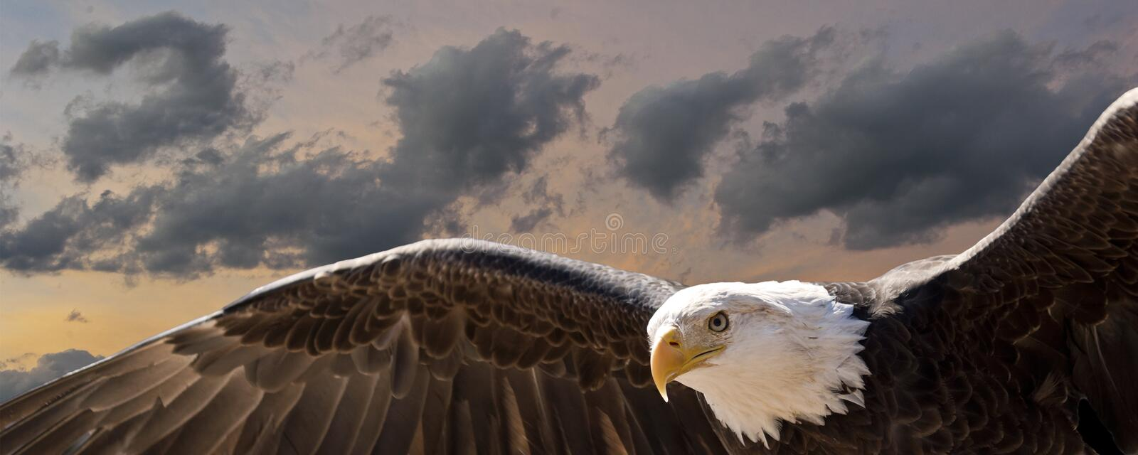 Bald eagle at sunset composite stock photography