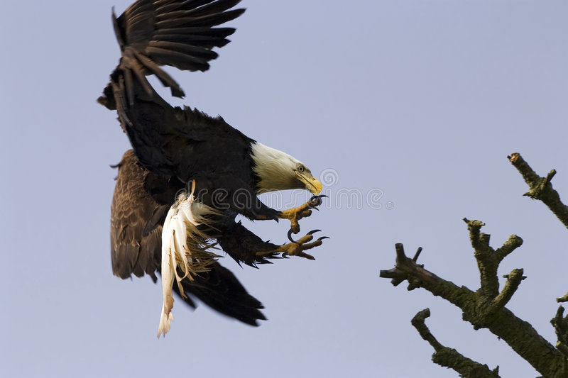 Download Bald Eagle With Talons stock photo. Image of american - 2601196