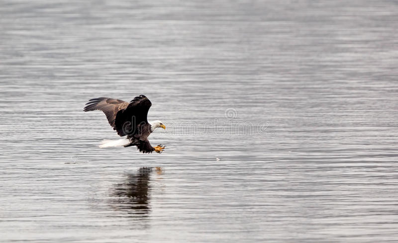 Bald eagle with talons out stock photo
