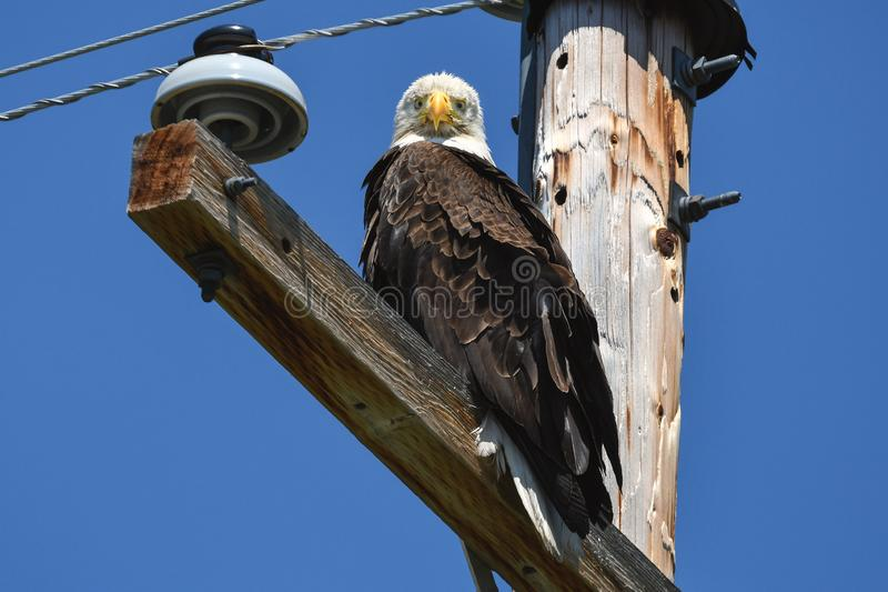 Bald eagle on telephone pole looking straight at camera. A bald eagle ignores traffic and people while perched on telephone pole in rural area north of Klamath royalty free stock photography