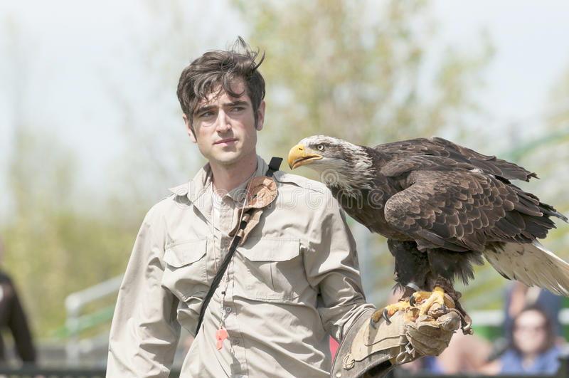 Bald eagle in trainers arm stock photo