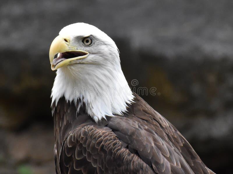 Bald Eagle. At Tulsa Oklahoma Zoo stock image