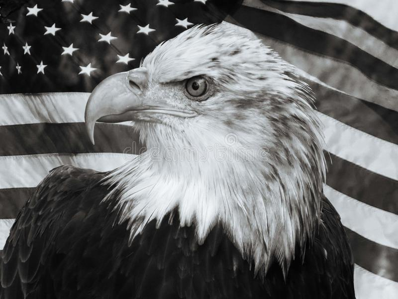 Bald Eagle U.S.A flag portrait stock photo