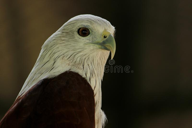 Bald Eagle at VOC park. Bald Eagle Accipitridae is giving sidepose to camera at VOC park in Coimbatore stock photos
