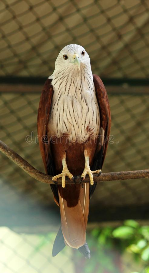 Bald Eagle at VOC park. Bald Eagle Accipitridae is sitting on the rope at VOC park in Coimbatore stock photography