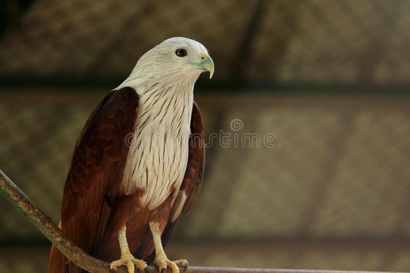 Bald Eagle at VOC park. Bald Eagle Accipitridae is sitting on the roper at VOC park in Coimbatore royalty free stock photography
